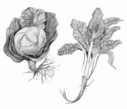 Cabbage, chard