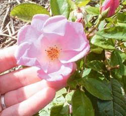 Most wild roses will have four- or five-petal blossoms that are either white, yellow, or pink. Five-petal pink blossoms cover the wild roses in my area in spring.