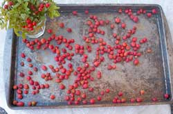 Dry rose hips on an old cookie sheet for a couple of weeks until completely dry. When ready to store, they should be darker than their fresh counterparts, hard, and semi-wrinkley.