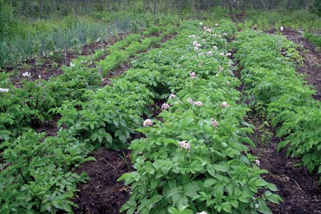 Some large crops, like potatoes, do best in normal garden rows.