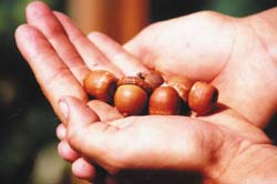 Nice fat, ripe acorns, ready to be used for acorn meal or flour