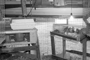 Typical quail-rearing setup with breeding pen, brooder, incubator (white box), and grow-off pen