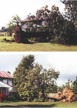 Two views of the giant oak tree that fell alongside the author's home in Missouri