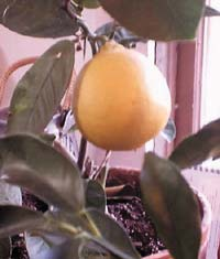 One of two yellow-fleshed grapefruit on a tiny 2-branch tree.