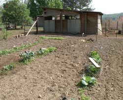 Early spring garden of lettuce, cabbage and other cole crops on the side the chickens aren't using this year.