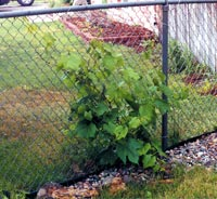 This 1-year-old vine is flourishing.
