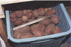 Potatoes stored in a large basket on the floor of the fruit room