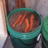 Bolero carrots being removed from the bucket of sand in June following eight months in storage