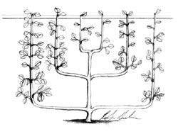 Six-Armed palmette verrier espalier growing along a wall