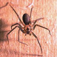 The Brown Recluse is identified by a fiddle or violin shape that points toward the rear of its body.