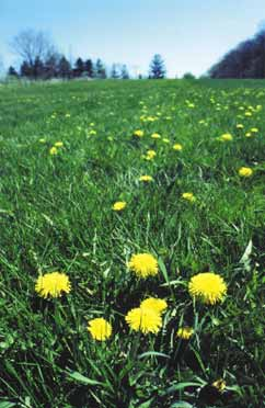 Dandelions growing in dense cut grass tend to be more bitter because of less shading and more root competition for water and nutrients.
