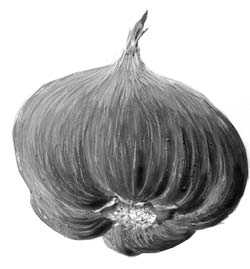 A head of garlic