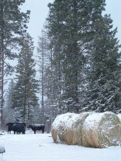 In areas with cold winters, your cows need shelter and supplemental feeding.