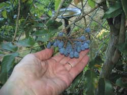 Oregon grapes on the vine