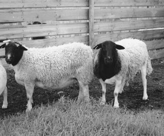 Dorpers are a wool/hair shedding sheep whose underbelly is always clean—eliminating crutching during lambing. They exhibit a compact barrel shape with good muscling.
