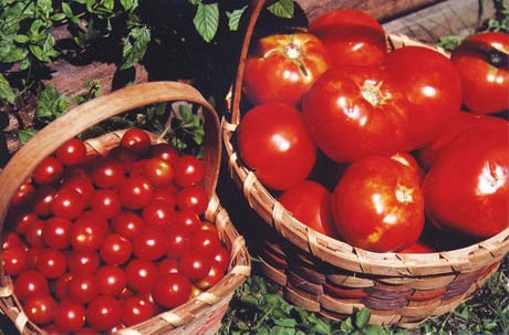The juicy flavor of ruby red, home grown tomatoes cannot be confused with the tough, almost plastic taste of shipped-in supermarket tomatoes.