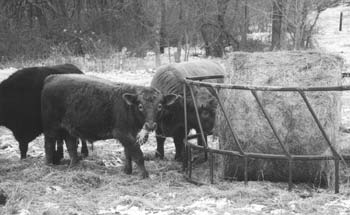 Beef cattle feeding on mixed grass hay during the winter