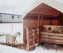 The Costco carport goat shelter. Fencing is 'combi' cattle panels, which have smaller holes at the bottom.