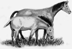 Though once a tool on working farms, today the modern horse is usually kept for pleasure riding. Though its wild ancestor is extinct, its wild cousin, the Przewalski's horse, in the foreground, still exists in extremely small numbers.