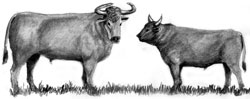 The auroch, on the left, only recently extinct, is the wild ancestor of today's modern cow. A mature auroch bull was more robust than its modern descendant, being both larger and fiercer.