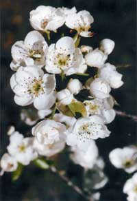 An abundance of pear blossoms gives promise of good things to come.