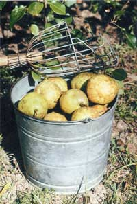 A fruit picker fitted with a long handle makes an ideal tool for harvesting hard-to-reach fruit (Orient pear).