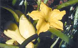 Early Prolific Straightneck Squash lives up to its name, as it is prolific.