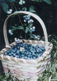 Blueberries are high in antioxidants and easy to grow and harvest.