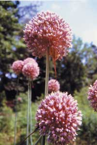 Garlic's flower stalks tower over the plants themselves. When flowers die back and plant goes into dormancy during summer, it's time to dig bulbs. Flowers are often dried and used in dried flower arrangements.
