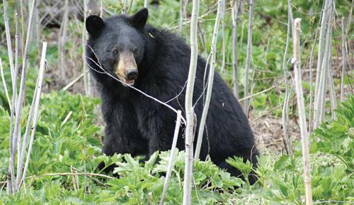 A spring bear fattening up on fresh greenery