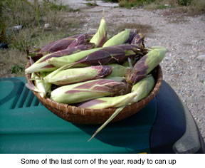 ears-fo-corn-psd-copy.jpg