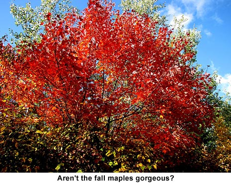 Fall-maples