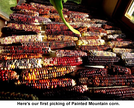 Painted-mountain-corn