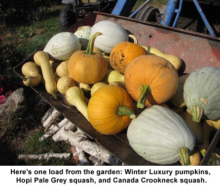Tractor-load-of-squash