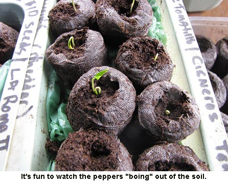 Sprouting-peppers-02