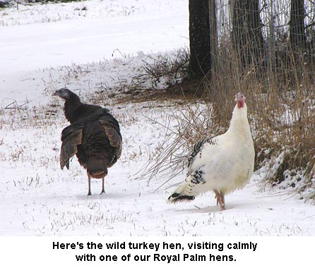 Turkeys_9966