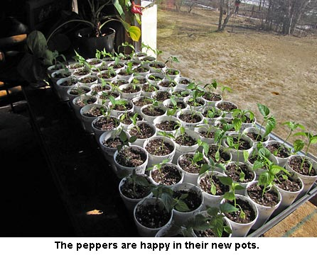 Peppers_1557