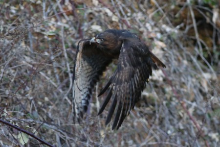 You can see, because I used a shallow depth-of-field, the hawk isn't quite in focus.