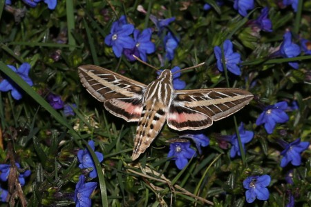 This is a zoomed photo of one of these moths as it hovered over the flowers.