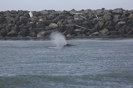 This is one of the whales spouting. In the background is the north jetty which lies on the Wedderburn side of the river.