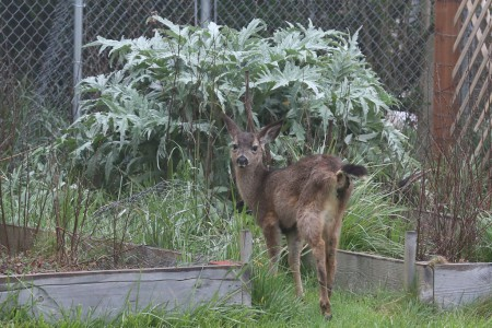 The fawn often liked to go back to the raised beds and lie under the avocado plants.