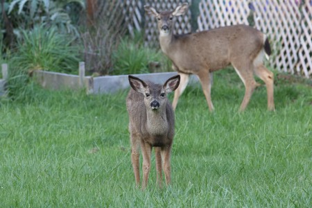 No longer afraid of me, the fawn was often curiious about me. That's Mom in the background.