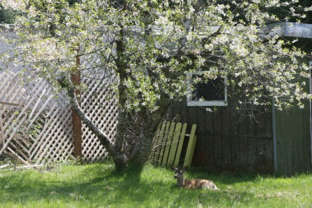 I'm only including this photo, of the fawn lying under my cherry tree, while the tree was in blossoms because I like it.