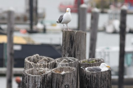 Here's the nest, atop some pilings, and I think that may be Mom and Dad watching over them.