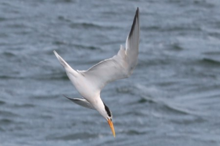 Here a tern is diving toward the water.