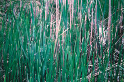 Cattail, Common and Narrow-leaf