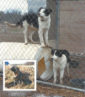 Young working Border collie dogs in their outdoor run and weather-proof dog house (recycled plastic barrel). Inset: A working Anatolian livestock guardian dog. This dog stays with Angora goats outdoors year-round, chasing away predators and human strangers.