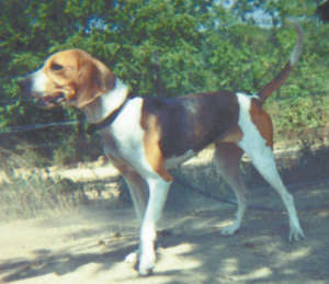 A working foxhound dog, eager to find a raccoon. This large outside dog has a loud, baying bark and wants only to sniff and hunt.
