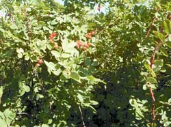 In late summer, rose hips ripen to bright red and are ready for gathering.