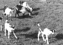 A small herd of dairy goats earns its keep.